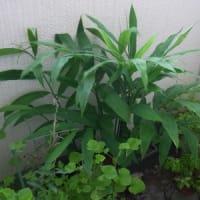 10月のベランダのミョウガ:10/5花と実 3個、10/11 3個、10/13 4個収穫