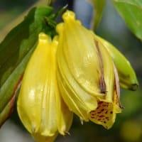 鉢植えの「ホトトギス」(3) 「紀伊ジョウロウホトトギス」