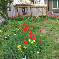 手稲山と庭の花
