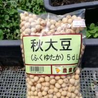 味噌用大豆の種まき