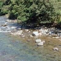 仁科川鮎、場荒れで厳しい