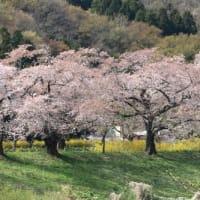 宮城県柴田郡柴田町の船岡城址公園沿いのソメイヨシノ並木は満開でした