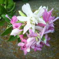 白とピンクの花は何でしょう?