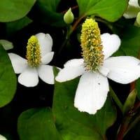 庭の花、雑草等、スプレプトカーパス、ギンパイソウ、オカトラノオ、他