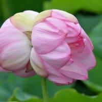 蓮の花苑 開花状況5