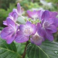 紫陽花「ハイジ」 2