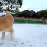 生まれて初めての積雪を体験した柴犬 【朝んぽdiary】