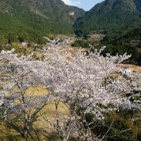 2020年4/4 赤木城跡の桜(熊野市紀和町)