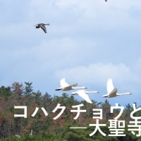 石川のコハクチョウとマガン1-大聖寺