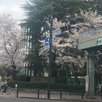どこも桜満開なのに!