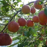信州松川からのふじりんご