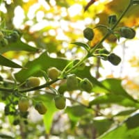 ヒイラギナンテン   ひいらぐうつくしい葉に守られて       東京都江東区都立の森