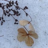 雪上の紫陽花