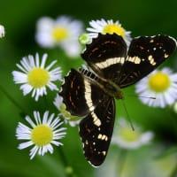 新潟の野蝶 サカハチチョウ・夏型