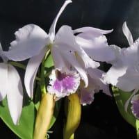 C.labiata 3個体,C.walkeriana