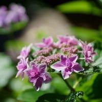●紫陽花にキアゲハ(蝶) フクシアにも止まって