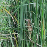 葦の間から、ヨシゴイの幼鳥が見えた。