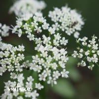 「芹の花が咲きました」 MY GARDEN 2019.08.24日撮影