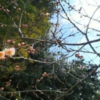梅の花が❗️