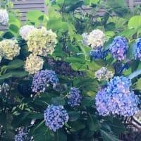 今日の青空・・紫陽花のドライも素敵(⋈◍>◡<◍)。✧♡