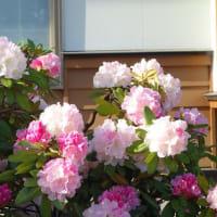 陸上の県大会前にメンテナンス  春の花5