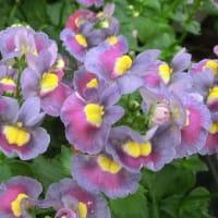 パステシアの花は