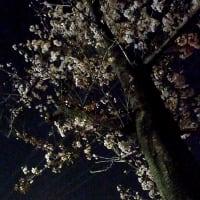 台風にも耐えた桜