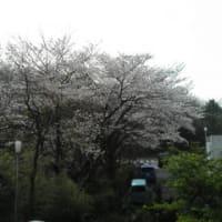 みなさんの街の桜は?