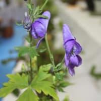 「おはようの花」 深山トリカブト 10月