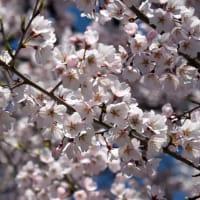 氷室神社の桜が満開!(2020年3月25日)