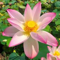 蓮の花苑 開花状況8