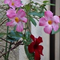 家の花たち