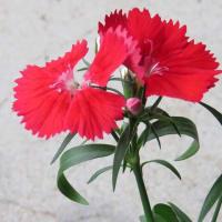 撫子( Dianths) Dianthus superbus 無邪気 純愛
