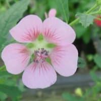 アニソドンテア・マルバストロイデスの花は