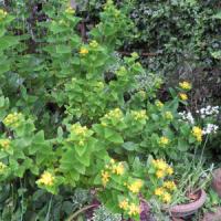 5/7 エリア2:ヒペリカムの黄色い花