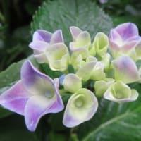 紫陽花「チボリ」 2