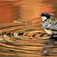 今日の野鳥  コサメビタキ  ・  コルリ  ・  ヤマガラ  ・  シジュウガラ