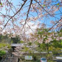 大分 内山観音(蓮城寺)の 桜  ~ 2020年4月2日 満開でした。