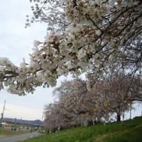 大河原桜まつり