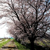 20 数年植え継がれ見事な町の桜並木ができました