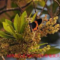 ホルトノキの花とキオビエダシャク