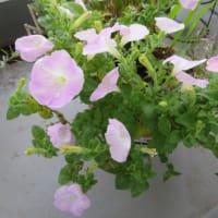 3/4 冬中咲いていたMyガーデンの夏の花たち