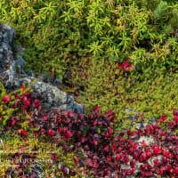 日本一早い紅葉 Ⅳ コマクサ平から下山