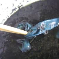 藍の生葉を使って、濃い藍染めにトライ
