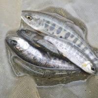 3月27日 超渇水の那比川でアマゴ釣り!