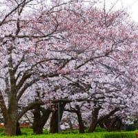 海辺に咲く桜 3月30日