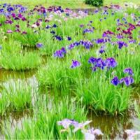 菖蒲と紫陽花