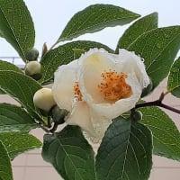 沙羅双樹の代わりに植えられる木 <お花で一休み(76)>
