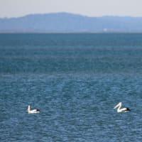 泳ぐコシグロペリカン (AUS)