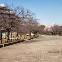 毛馬桜之宮公園の桜の開花状況はまだ「咲き始め」。松井市長の「お花見許可令」はまだ生きているのか?